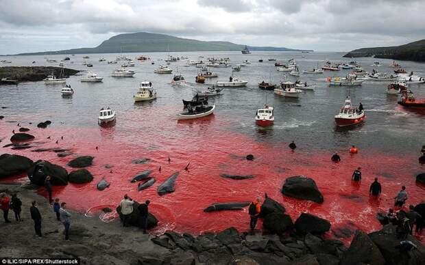 Побережье Дании снова окрасилось в красное во время ежегодного убийства дельфинов атлантика, в мире, дания, дельфины, животные, массовое убийство дельфинов
