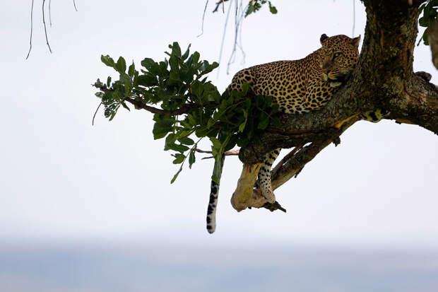 Воздушный леопард