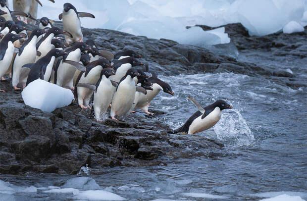 Пингвины Адели ныряют в воду по очереди