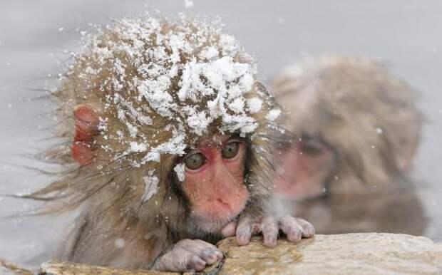 Снежные обезьяны ПРИСТАНЬ ОПТИМИСТОВ
