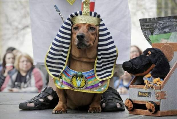 Самые роскошные карнавальные костюмы для собачек. Вы точно улыбнетесь!
