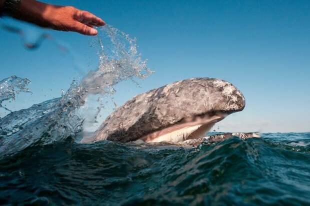 Серые киты в мексиканской лагуне позволили людям гладить и ласкать себя