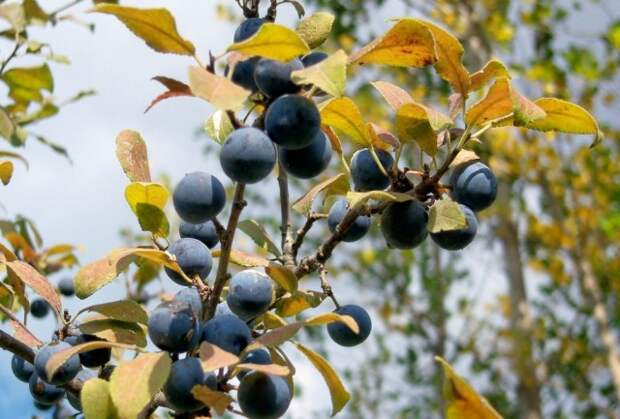 Тёрн - лекарственное растение, у которого целебны и листья, и кора, и цветки, и плоды