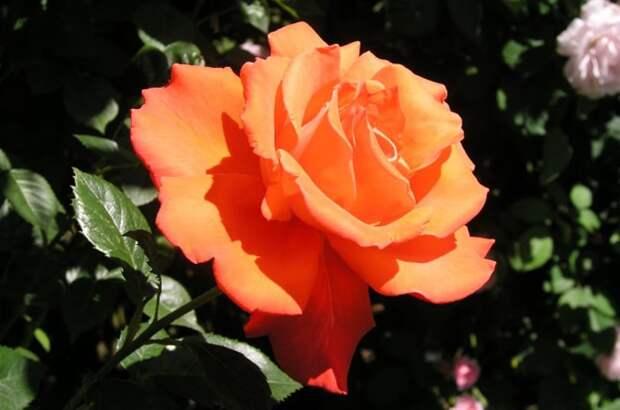 Необычный, однако действенный способ вырастить красивые розы на вашем участке