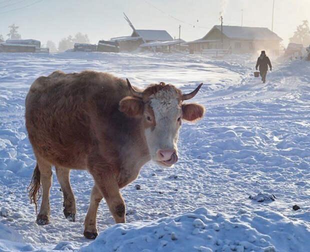 Как одна корова заставила приехать на дачу зимой