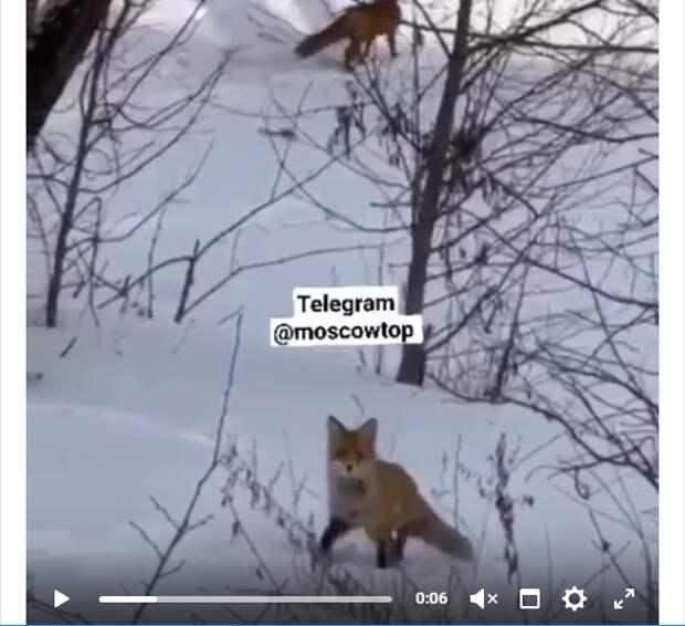 Фото дня: лисы в заснеженном лесу