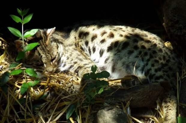 Кодкод или чилийская кошка