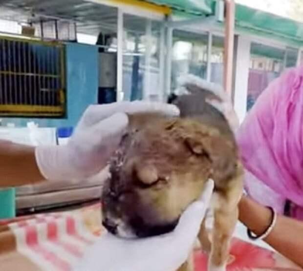 У щенка раздулась мордочка – так проявляла себя инфекция. Малыша нужно было спасать, тем более что его ждала семья
