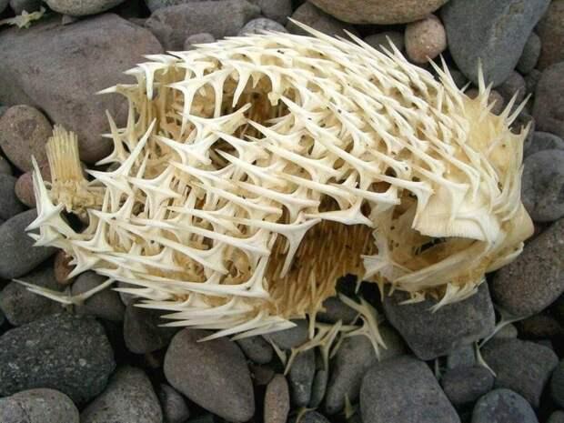 6. Скелет иглобрюхой рыбы животные, мир, подборка, природа, ужас, фото, явление
