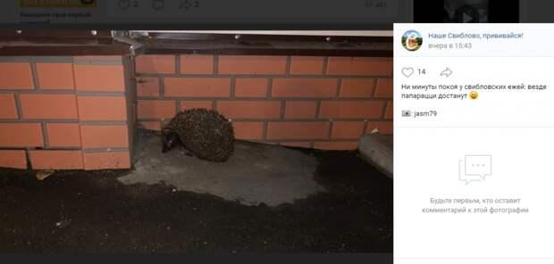 Фото дня: ежей в Свиблове замучили местные папарацци