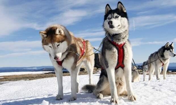 Древняя порода ездовых собак, выведенная коренным сибирским народом, отлично приспособлена к холодному климату. /Фото: egida.by