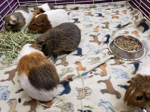 морские свинки в коробке
