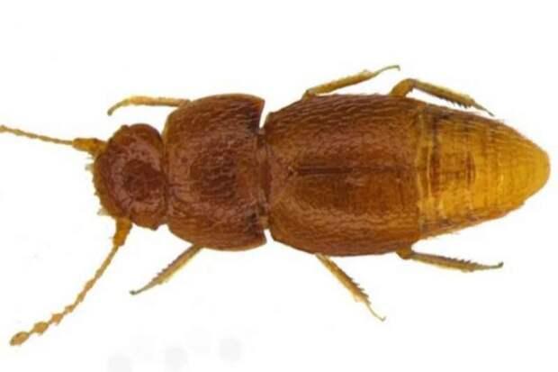 Новый вид жука назвали в честь активистки Греты Тунберг