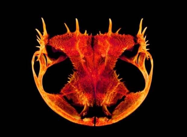 Почему у лягушек такая странная форма черепа?