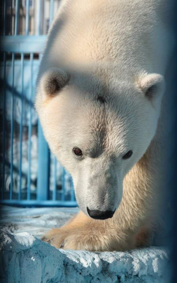 В екатеринбургском зоопарке погиб белый медведь: он проглотил брошенную в вольер игрушку