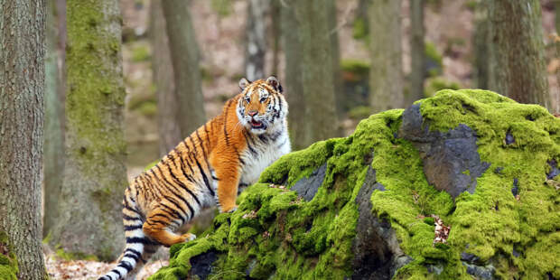 Амурский тигр загнал грибников на дерево в Приморье