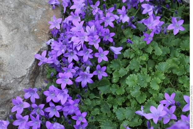 Лечебная цветотерапия на даче: седьмой мазок – фиолетовый