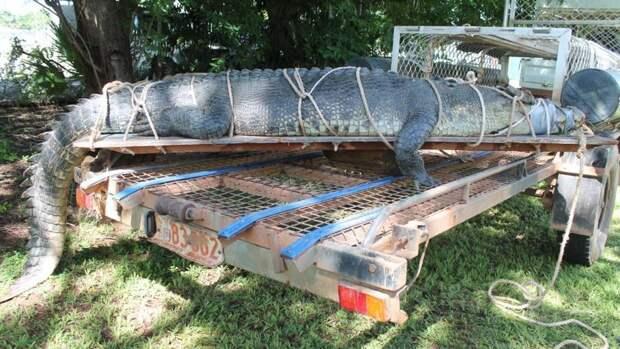 Рейнджеры предупреждают местных жителей и туристов не купаться в австралийский водоемах даже в сухой сезон во избежание встречи с подобным монстром Северная территория, австралия, животные, крокодил, охота, река, хищник
