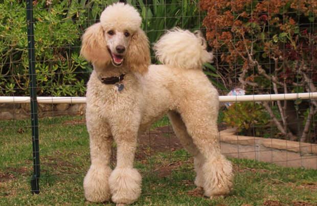 http://dogcatfan.com/uploads/posts/1439539580_bolshoy-pudel.jpg