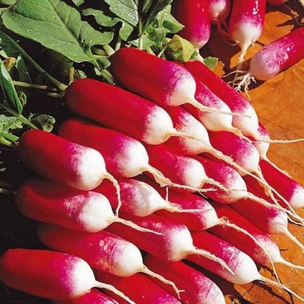 Как снимать высокий урожай редиса с весны до осени