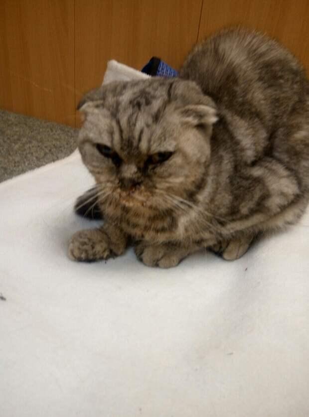 Хозяева выкинули свою кошку с окна девятиэтажки британская кошка, история, кошка, окно, шотландская кошка