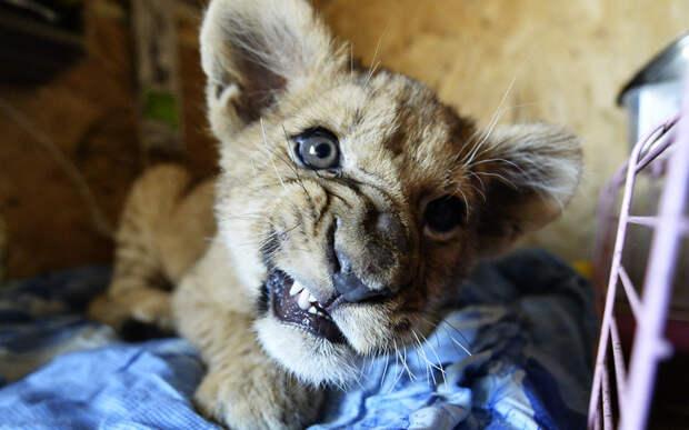 Рычащий львенок в семейном мини-зоопарке Екатерины и Юрия Зотовых, который открылся в конце минувшего года в селе Борисовка под Уссурийском