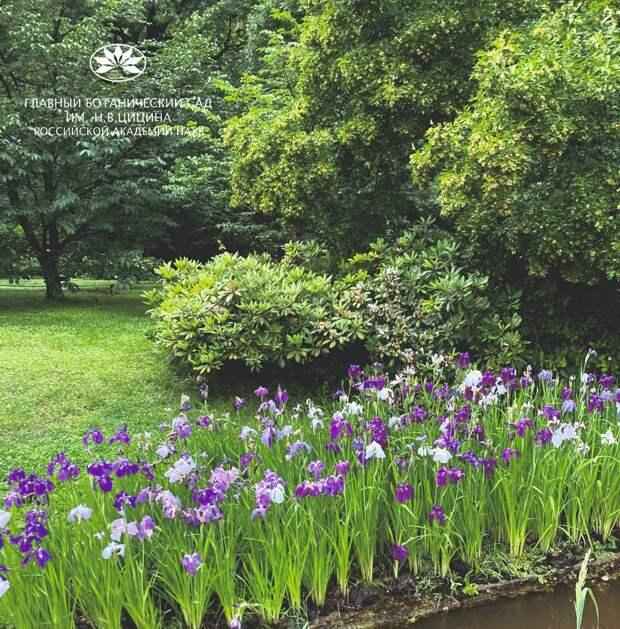 Мечевидные ирисы зацвели в Ботаническом саду