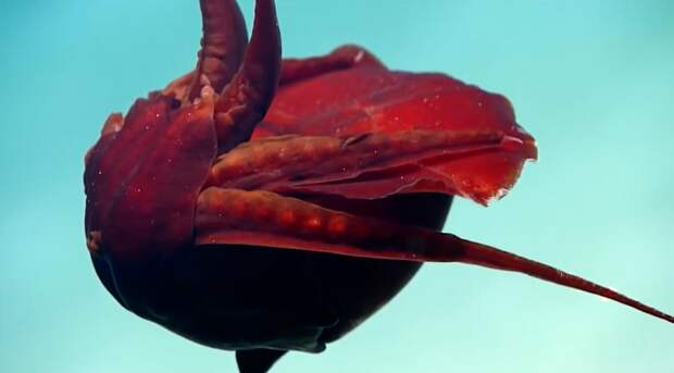 Исследователи сфотографировали в Мексиканском заливе странного глубоководного моллюска