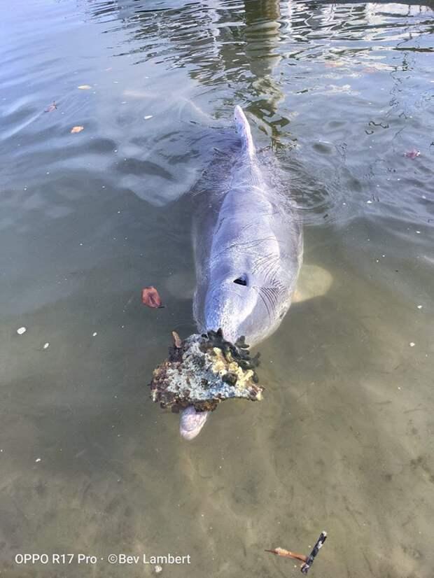 Дельфин из Австралии так соскучился по людям, что когда те вернулись, начал приносить им дары из океана