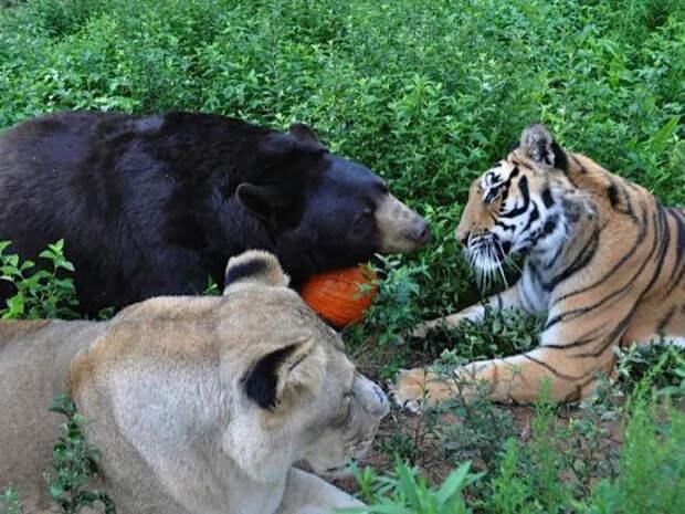Тигр, лев и медведь дружили на протяжении 15 лет. Их объединяли жуткие воспоминания о прошлом