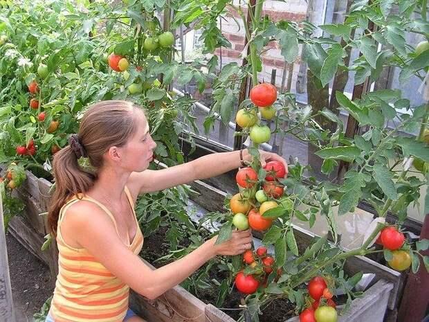 Что нужно успеть сделать с томатами в июле – советы для хорошего урожая