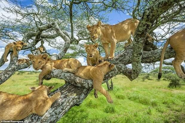 5. Дэниел Роузенгрен (Daniel Rosengren) дикая природа, дикие животные, животные, лучшие фото, львы, подборка, фото, хищники