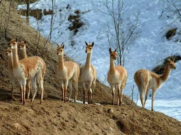 Викунья-животное-Описание-и-образ-жизни-викуньи-4