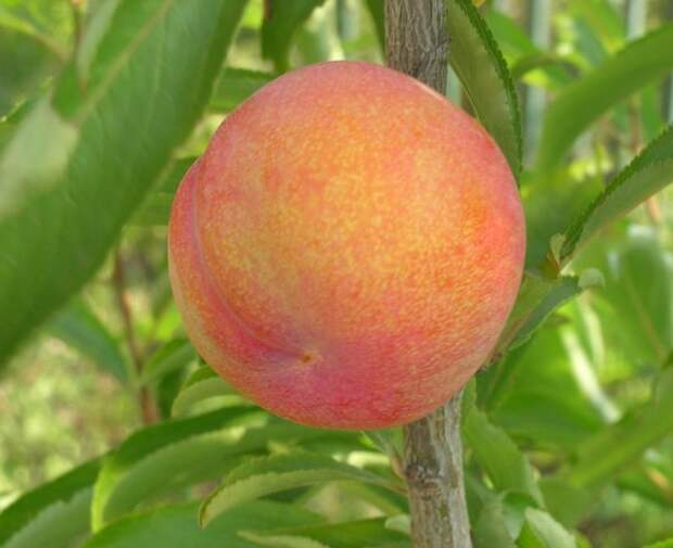 Гибрид персика со сливой