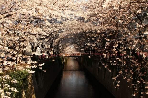 Цветущая белая сакура в Японии. Фото