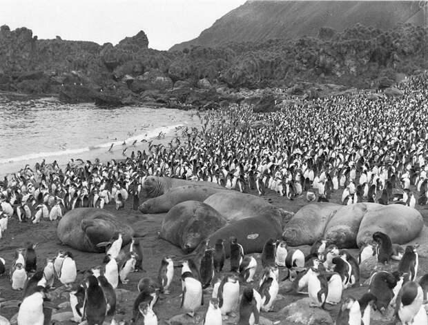 Первая Австралийская антарктическая экспедиция в фотографиях Фрэнка Хёрли 1911-1914 47