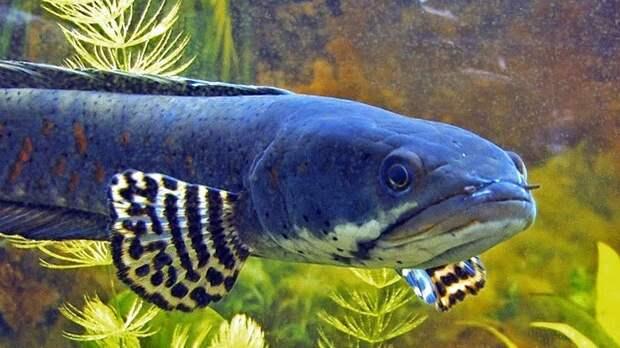 Channa аквариумные рыбки, животные, необычные рыбы, рыбы