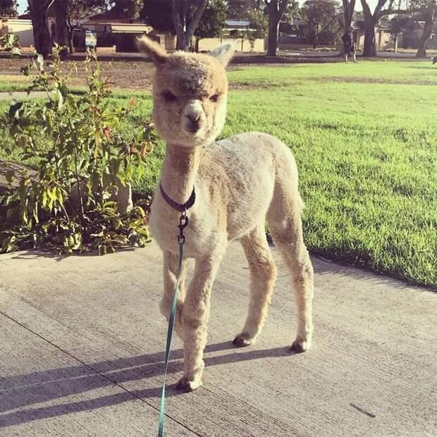 Алфи гуляет на поводочке Instagram, альпака, домашний питомец, животные, милота, фото
