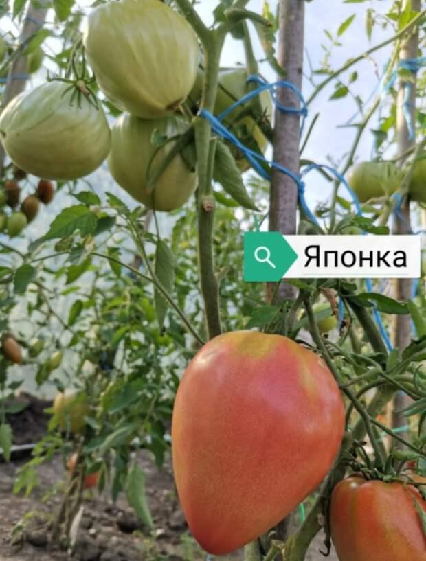 Самые урожайные томаты сезона 2020. Делюсь своим опытом