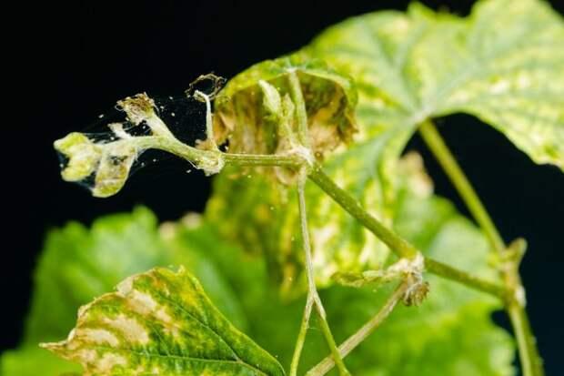 Виноград, пораженный паутинным клещом