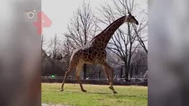 Жираф сильно обрадовался весне и устроил забег в Московском зоопарке