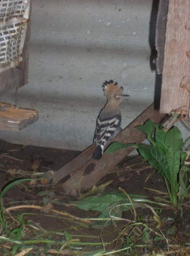 Птенец вывалился из гнезда прямо на собачью будку