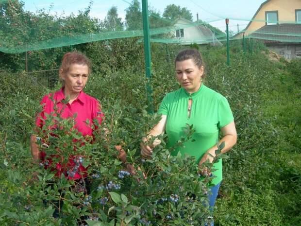 Урожай голубики