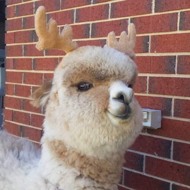Я милый оленёнок, совсем не альпака! Instagram, альпака, домашний питомец, животные, милота, фото