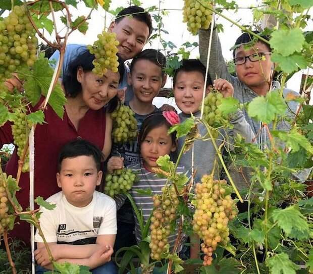 В условиях вечной мерзлоты Евдокия Гаврильева собирает два урожая винограда в год