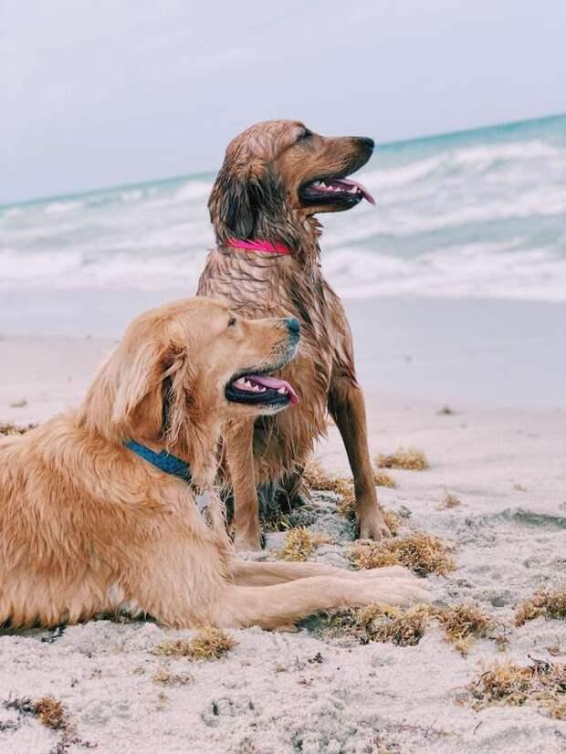 два золотистых ретривера на пляже