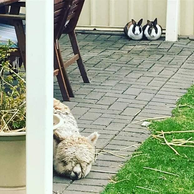 Этот парень появился в семье австралийцев осенью Instagram, альпака, домашний питомец, животные, милота, фото