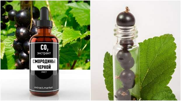 листья черной смородины полезные свойства и противопоказания