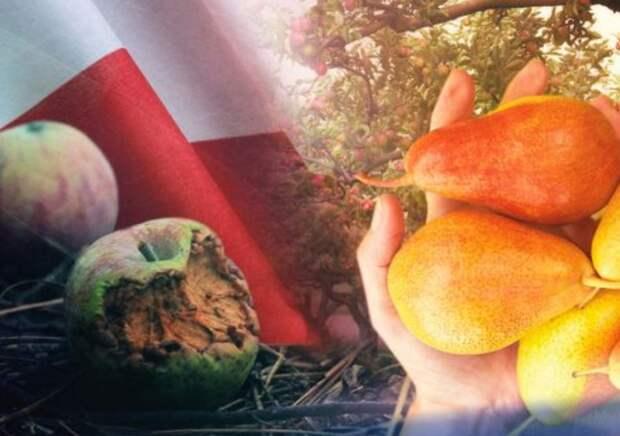 Яблочный рекорд России вызвал небывалый приступ зависти у поляков