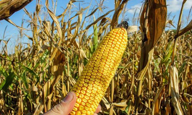 Как в СССР появилась кукуруза